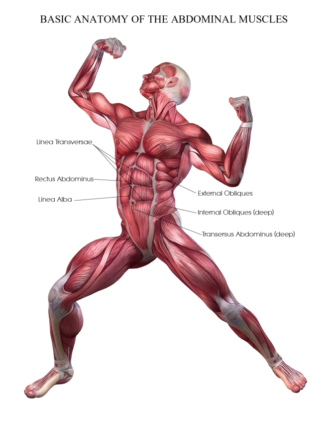 Anatomy of Abdominals